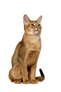 Abyssinian, Abyssinian Cat Insurance