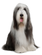 Beardie, Bearded Collie Insurance