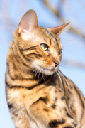 Bengal Cat, Bengal Cat Pet Insurance