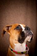 Boxer Pet Insurance