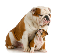 Bulldog, British Bulldog Insurance