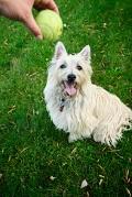 Cairn Terrier, Cairn Terrier Insurance