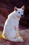 Canaan Dog, Canaan Dog Insurance