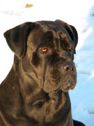Cane Corso, Cane Corso Pet Insurance