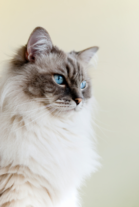 pure breed cat, Cat Insurance for Cat Breeds