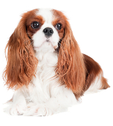 Cavalier, Cavalier King Charles Spaniel Pet Insurance