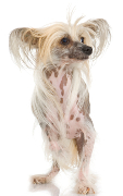 Chinese Crested, Chinese Crested Dog Insurance