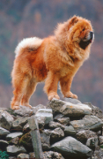 Chow Chow, Chow Chow Pet Insurance