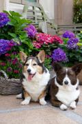 Corgi, Corgi Dog Insurance