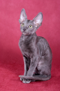 Cornish Rex, Cornish Rex Pet Insurance