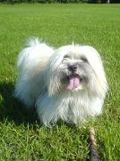 Coton de Tulear, Coton de Tulear Dog Insurance