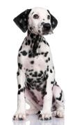Dalmatian, Dalmatian Insurance