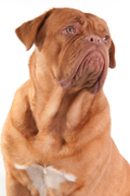 Dogue de Bordeaux, Dogue de Bordeaux Insurance