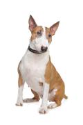 English Bull Terrier, English Bull Terrier Insurance