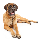 English Mastiff, English Mastiff Pet Insurance