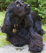 Field Spaniel, Field Spaniel Pet Insurance