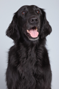 Flat-Coated Retriever, Flat-Coated Retriever Pet Insurance
