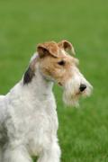 Fox Terrier, Fox Terrier Insurance