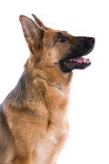 German Shepherd Insurance