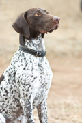 German Shorthaired Pointer, German Shorthaired Pointer Insurance
