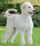 Goldendoodle, Goldendoodle Pet Insurance