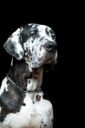 Great Dane, Great Dane Insurance