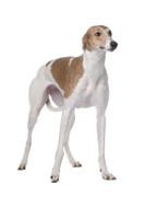 Greyhound, Greyhound Pet Insurance