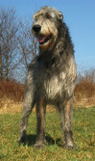 Irish Wolfhound, Irish Wolfhound Insurance