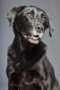 Labrador Cross, Labrador Cross Pet Insurance