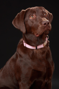 Labrador, Labrador Pet Insurance