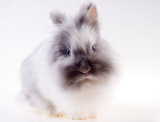 Angora Rabbit Insurance UK