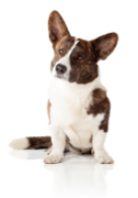 Cardigan Welsh Corgi Pet Insurance