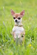 Chihuahua Pet Insurance - 32.5% member discount!