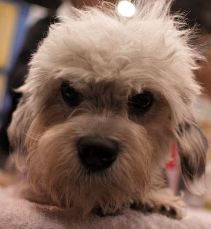 Pet Insurance for Dandie Dinmont Terriers