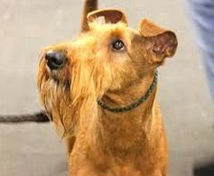 Pet Insurance for Irish Terriers