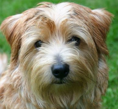 Pet Insurance for Norfolk Terriers