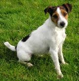 Pet Insurance for Parson Russell Terriers
