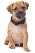 Pug cross Insurance - 32.5% member discount!