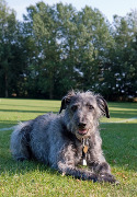 Lurcher, Lurcher Dog Insurance