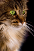Maine Coon, Maine Coon Pet Insurance