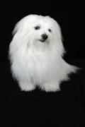 Maltese, Maltese Pet Insurance