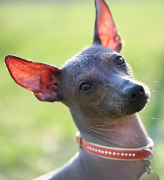mexican hairless, Mexican Hairless Pet Insurance