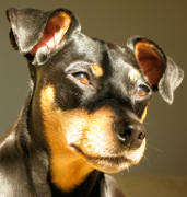 Miniature Pinscher, Miniature Pinscher Pet Insurance