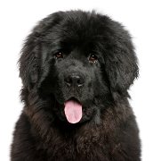Newfie, Newfoundland Dog Insurance