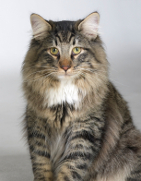 Norwegian Forest Cat, Norwegian Forest Cat Insurance