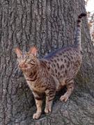 Ocicat, Ocicat Pet Insurance