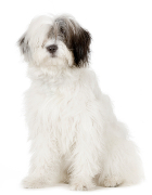 Old English Sheepdog, Old English Sheepdog Insurance