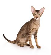 Oriental Cat, Oriental Cat Insurance