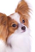 Papillon, Papillon Pet Insurance