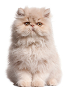 Persian Cat, Persian Cat Pet Insurance